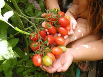 Upstarts Organic Tomatoes